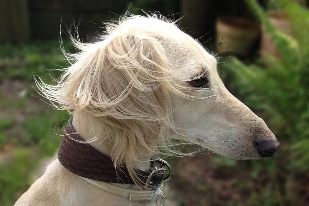what is a Saluki whippet?