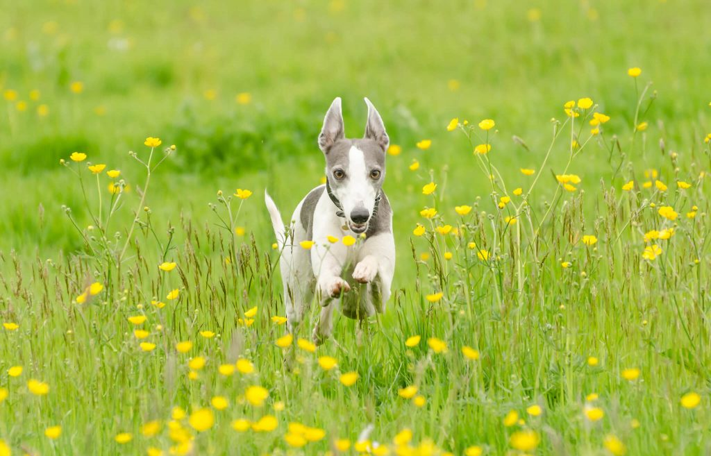 how to bond with your whippet