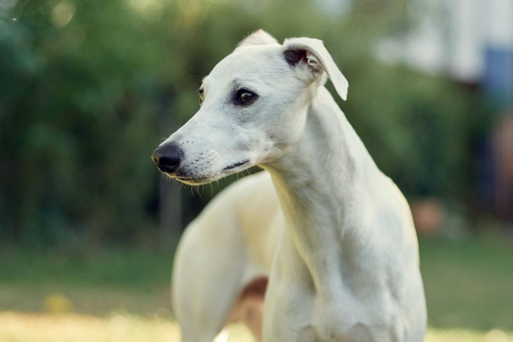why do whippets chatter their teeth?