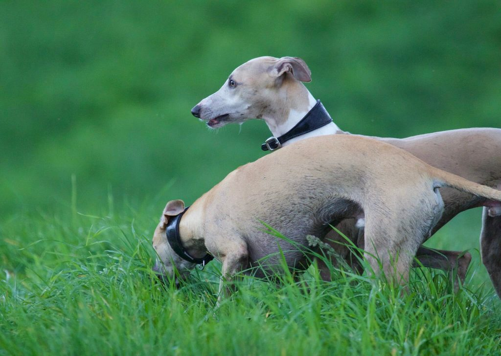 are whippets anxious dogs?