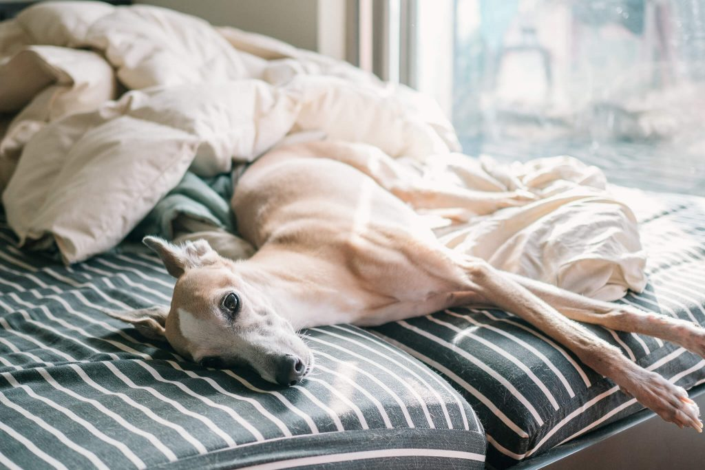 when do whippet puppies lose their teeth?
