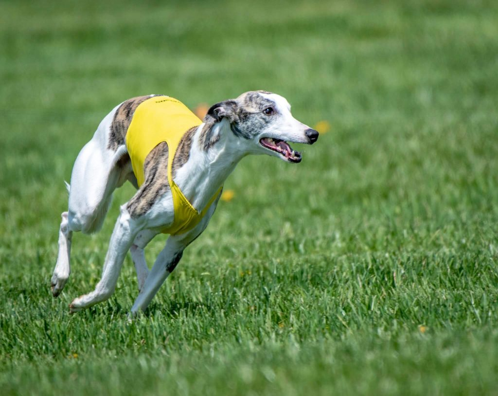 are whippets fussy eaters?