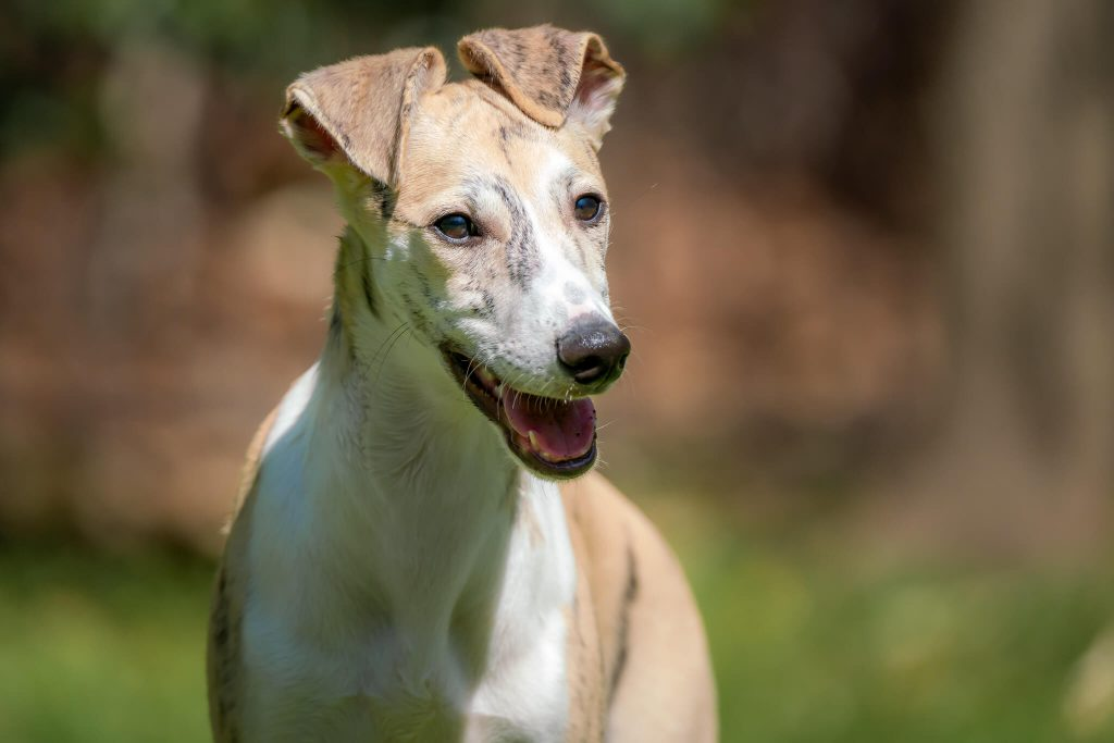 how to clean your whippets teeth correctly