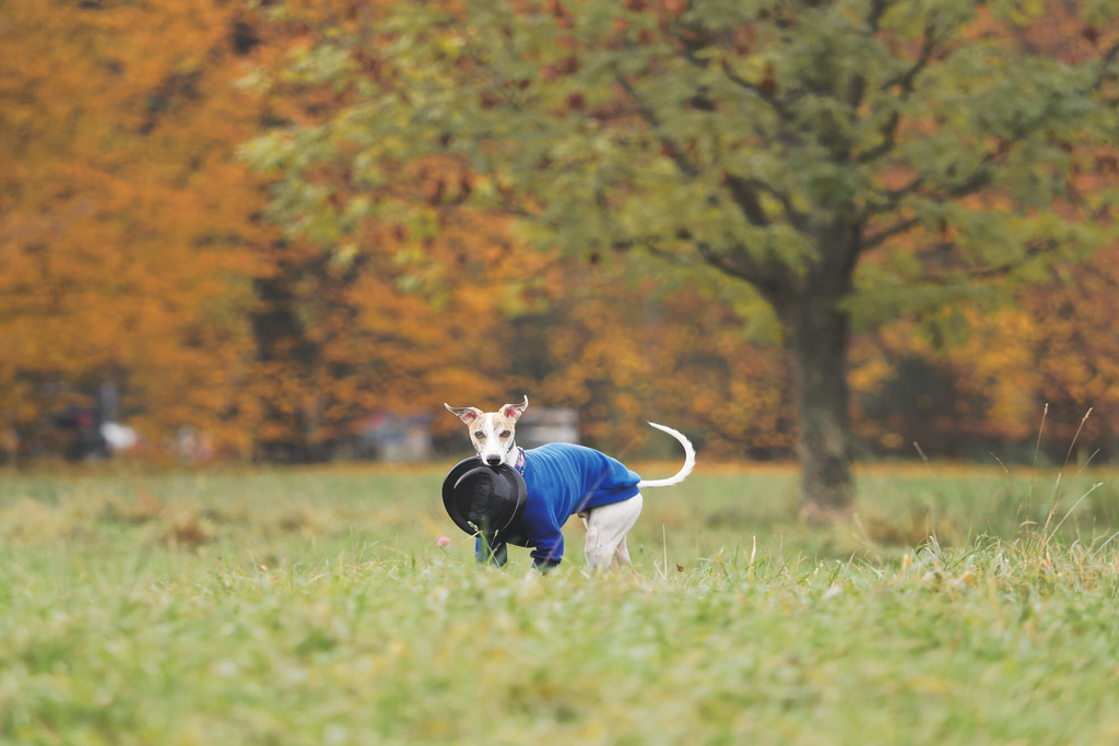 are whippets hyperactive dogs?