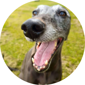 whippetcentral - bonnie