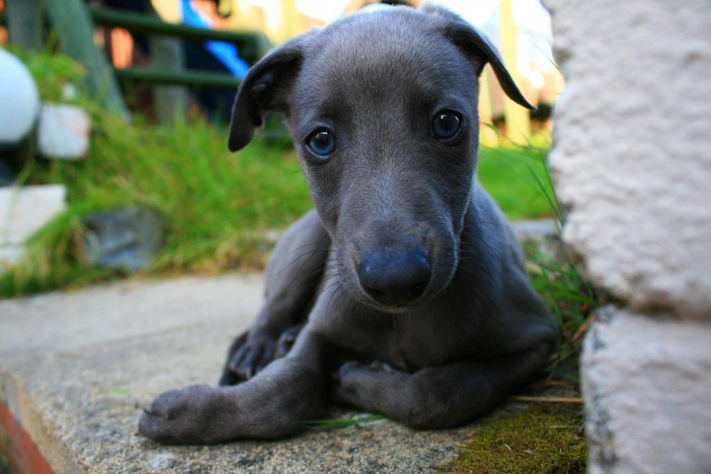 what is a blue whippet?