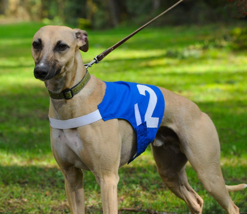 can a whippet be trusted off the lead?