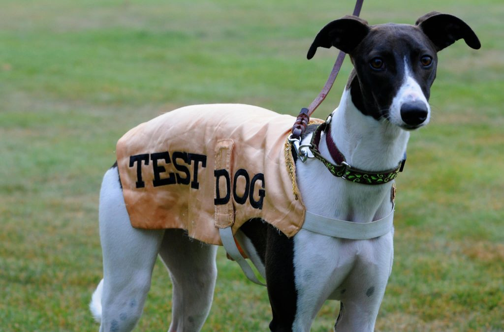 can whippets be trusted off the leash?