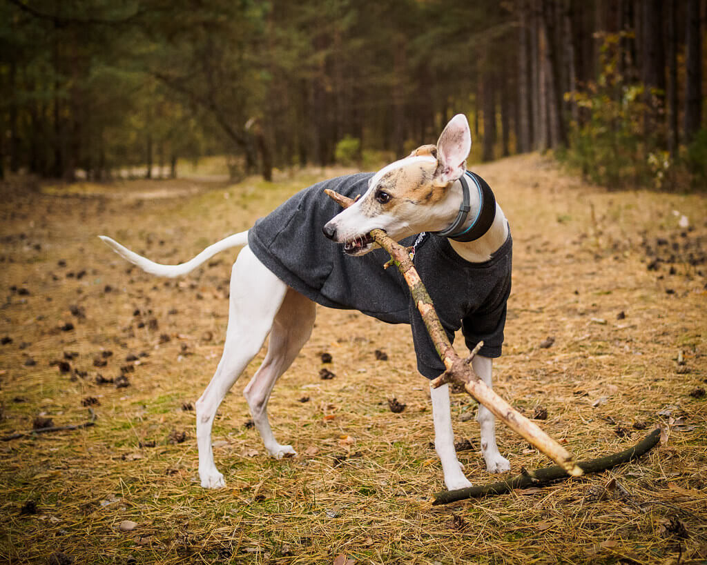 why wont my whippet eat?