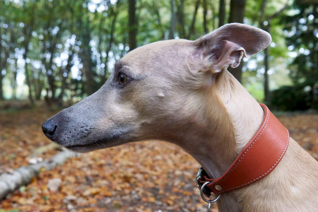 do whippets have bad breath?