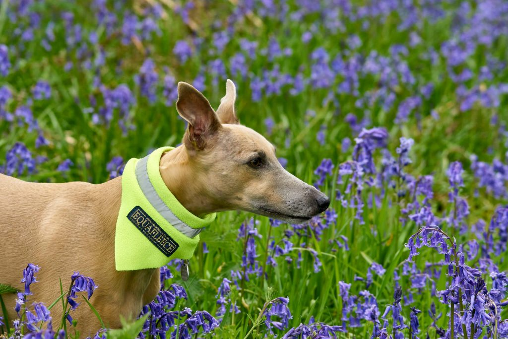 are whippets smelly dogs?