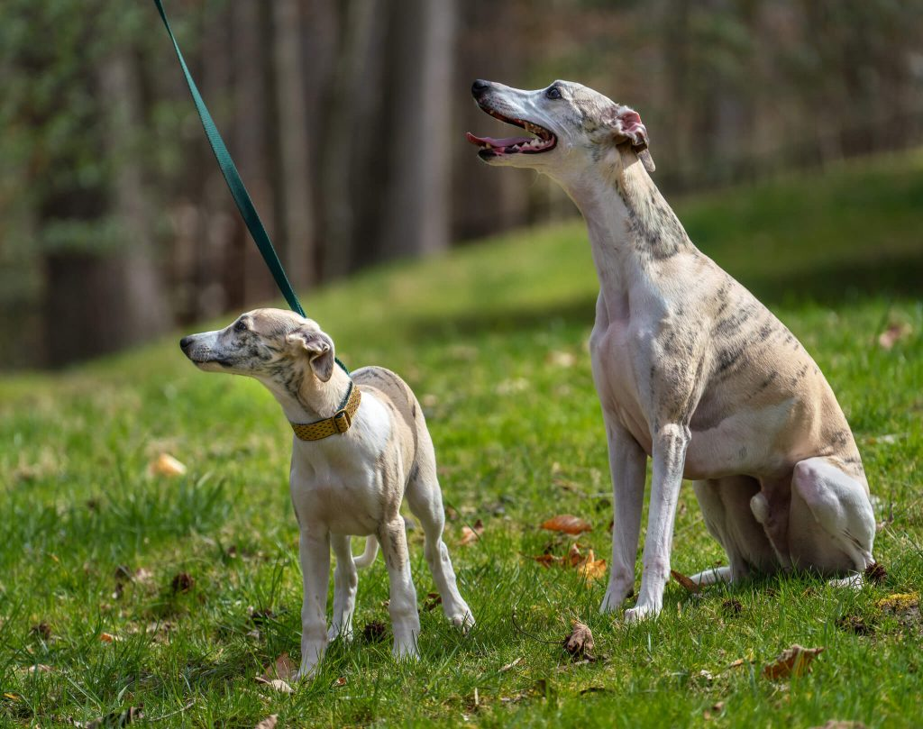 do whippets like to sit down?