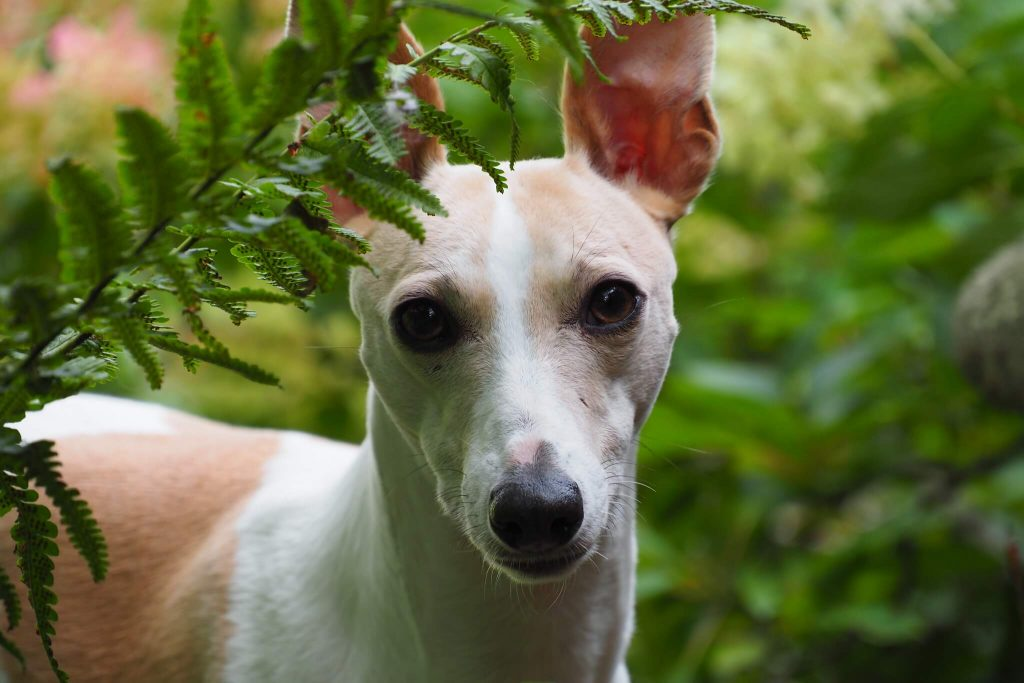 how to clean a whippets ears correctly