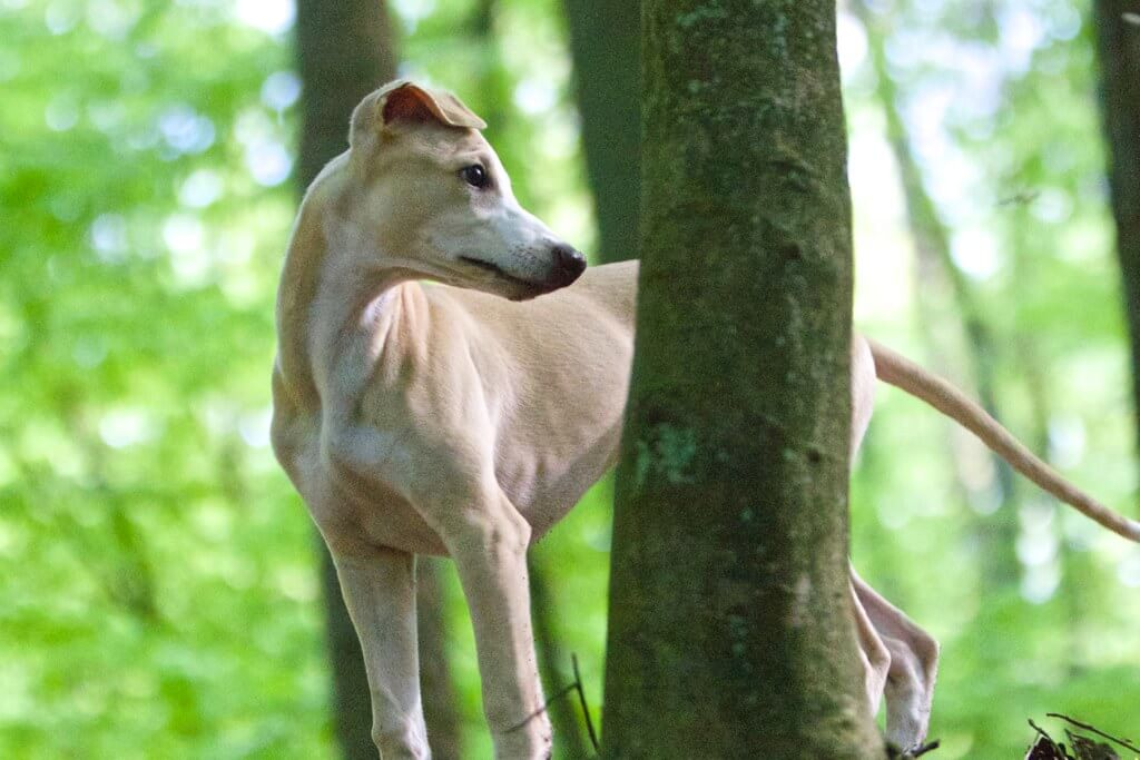 are whippets easy to house train?