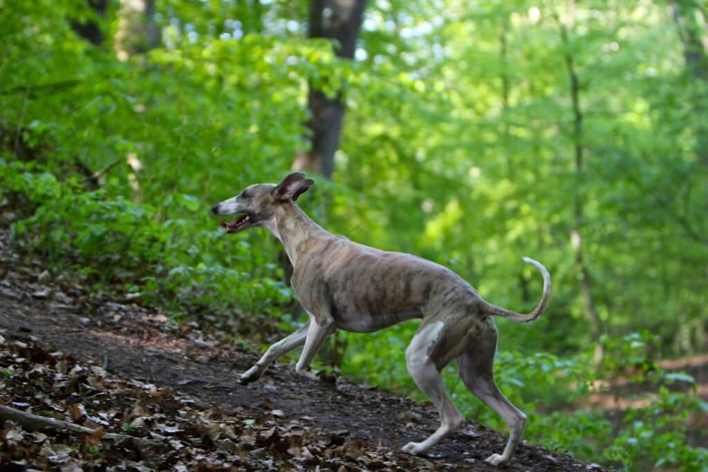 how much should a healthy whippet weigh?