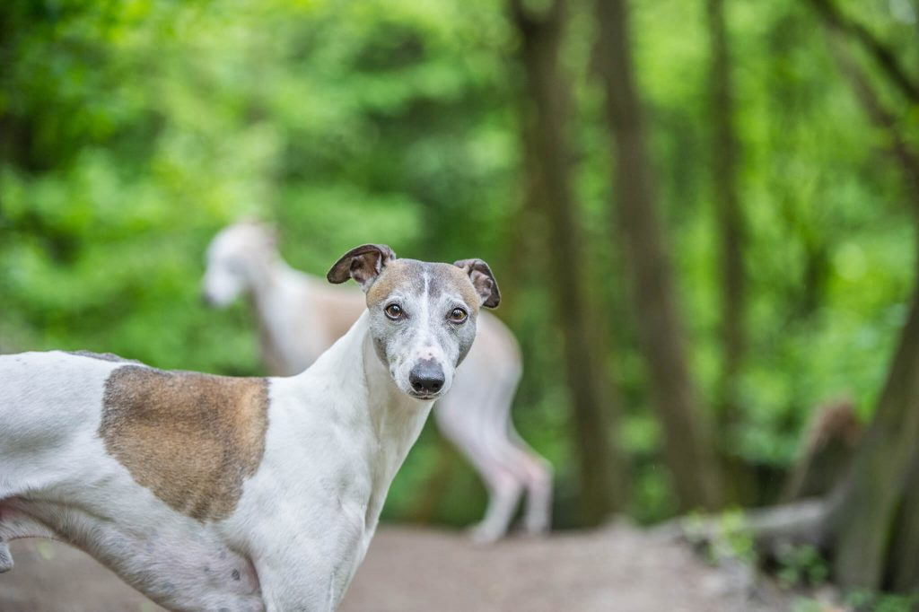 are whippets good pets?