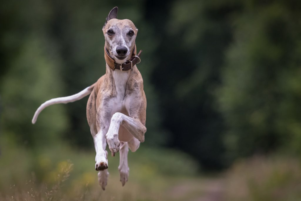 what is a whippet dog?