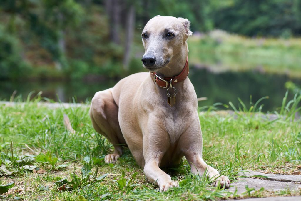 how to care for your old whippet