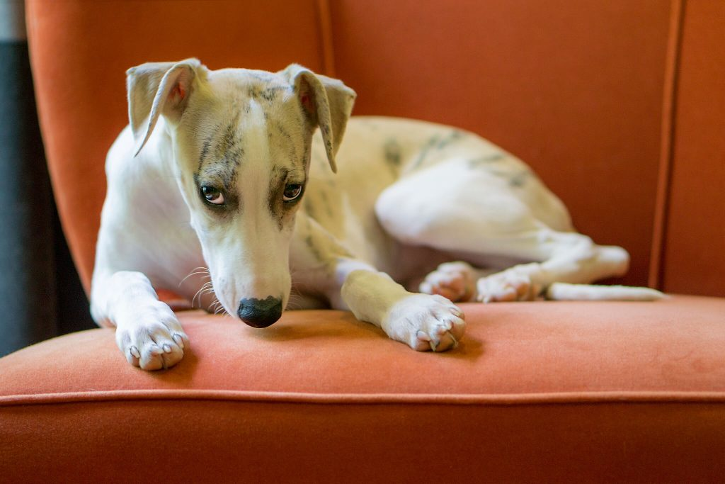 what to do when my whippet is sick