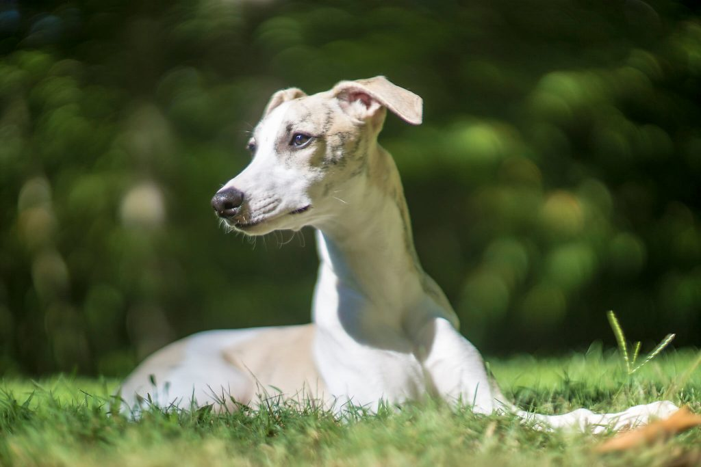 are whippet puppies hard work?
