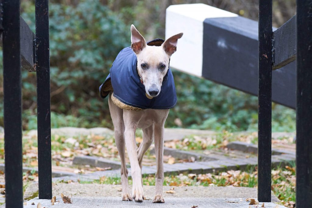 does my whippet need a coat?