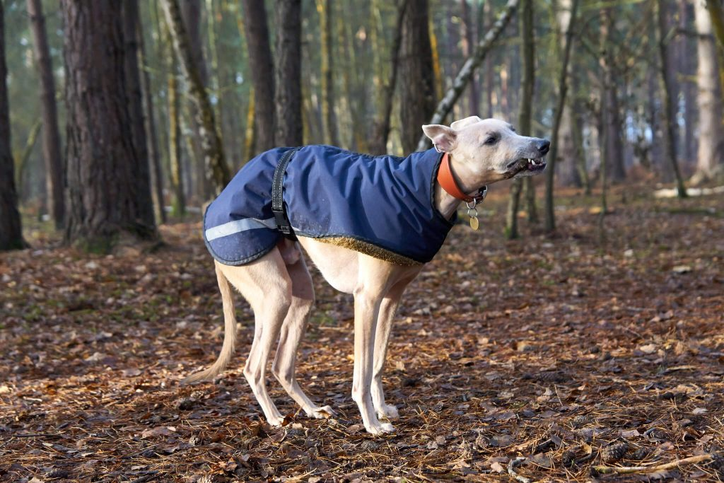 does my whippet need a dog coat?