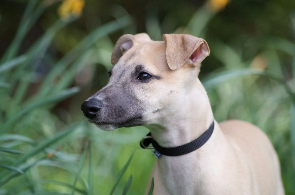 what to look for when buying a whippet puppy