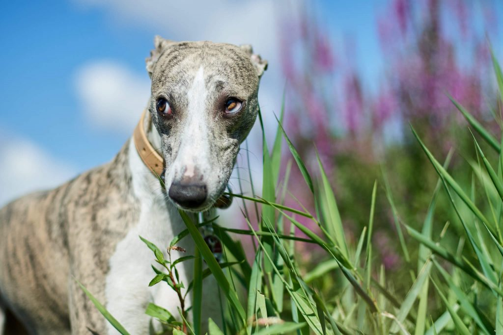 can whippets go on long walks?