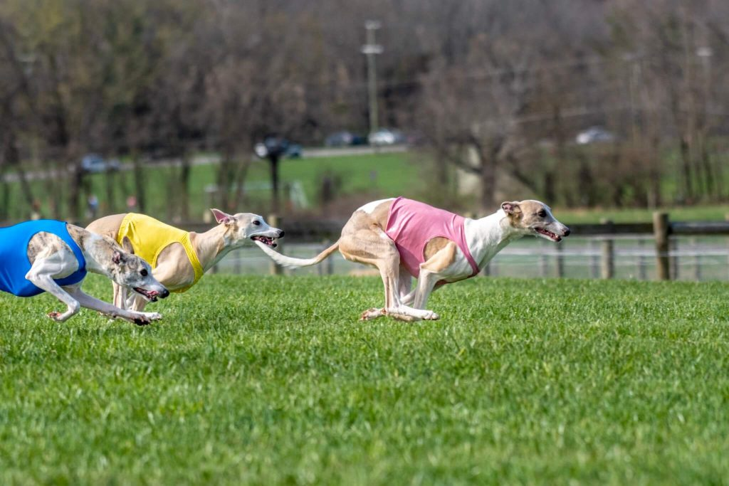how to find the best whippet breeders
