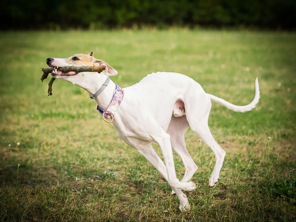 are whippets good sprinters?