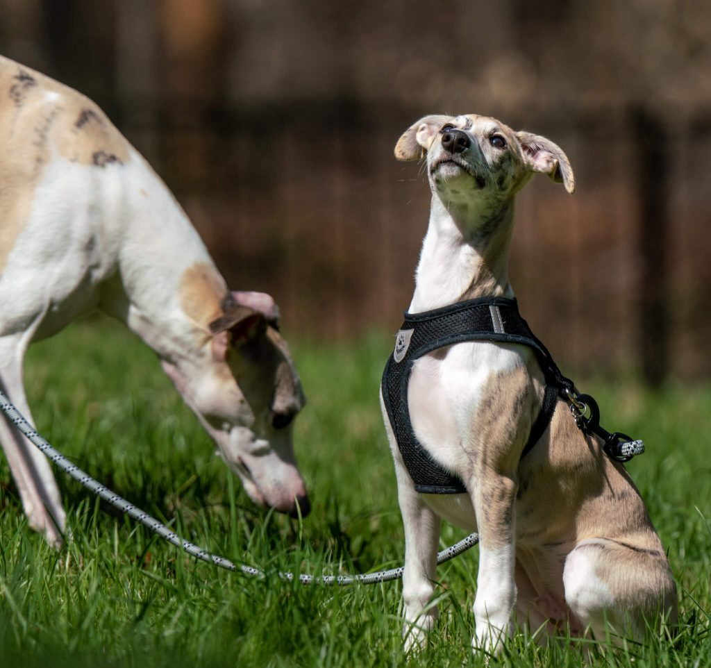 how to train a whippet to sit