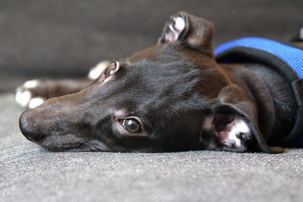 when to start training a whippet puppy