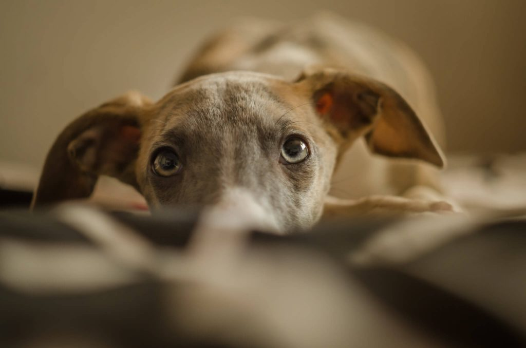 best dog shampoo for whippets