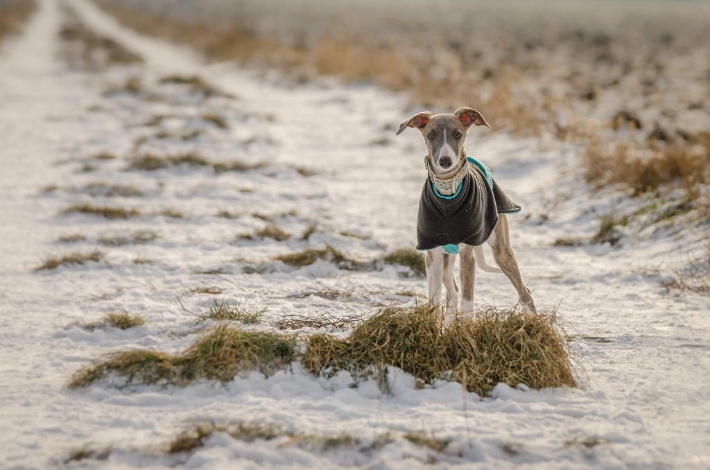 the ultimate whippet puppy survival guide
