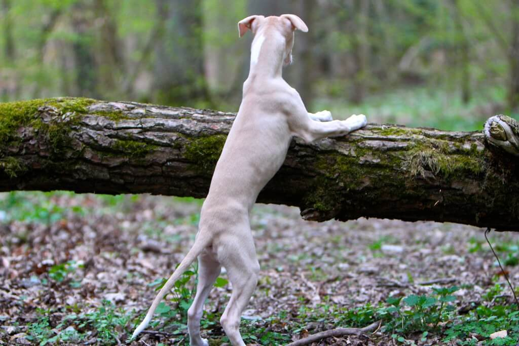 how much do whippet puppies cost