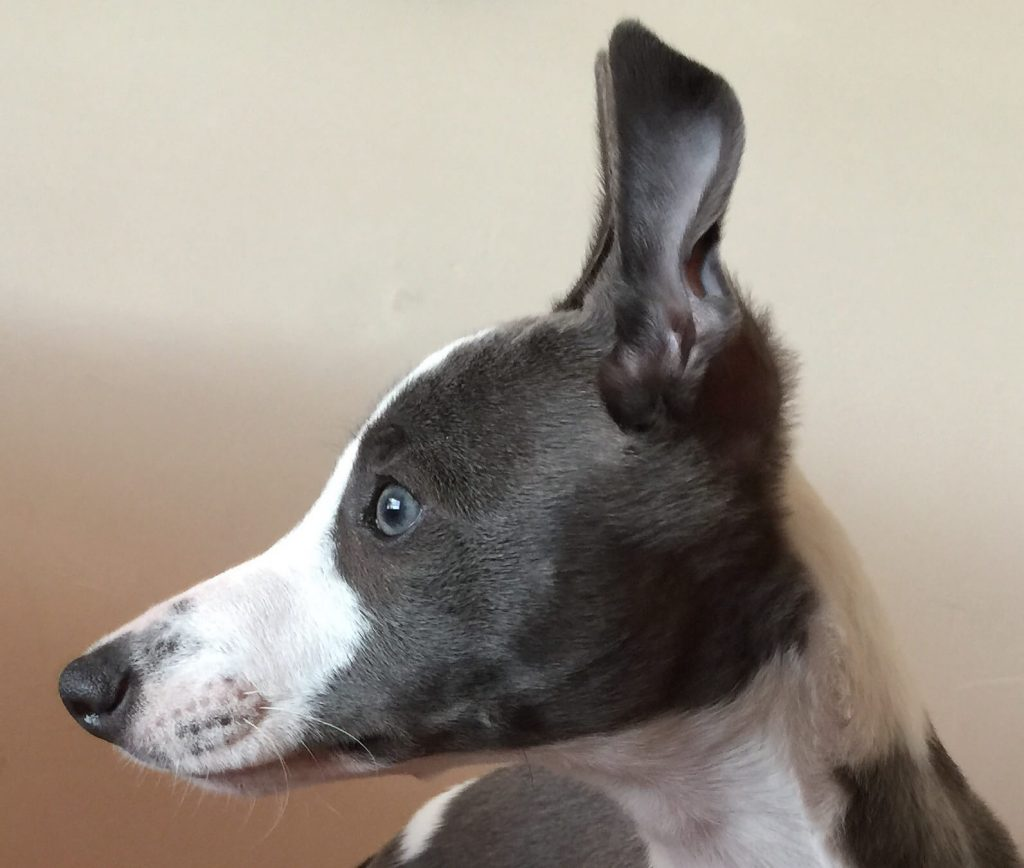 can whippets have blue eyes?