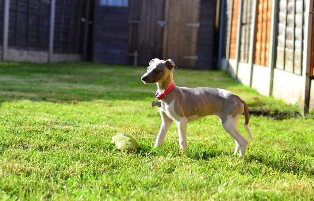 how to potty train a whippet