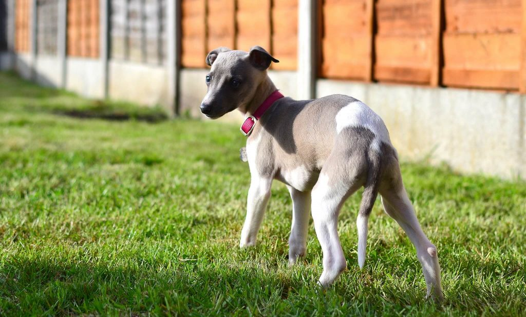 are whippet puppies destructive?