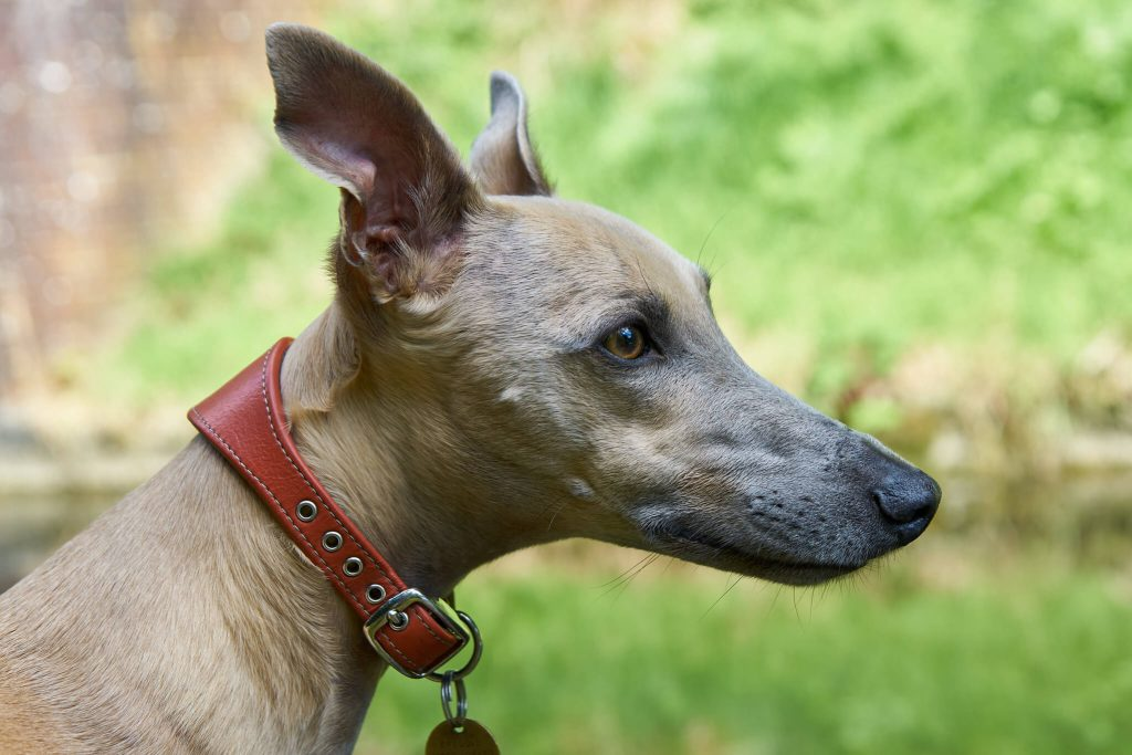 best wet dog foods for whippets