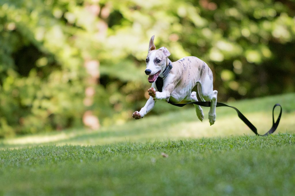 how to raise a whippet puppy while working full time