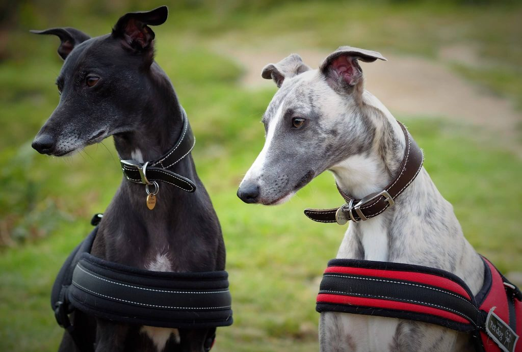 how to stop your whippet from running away