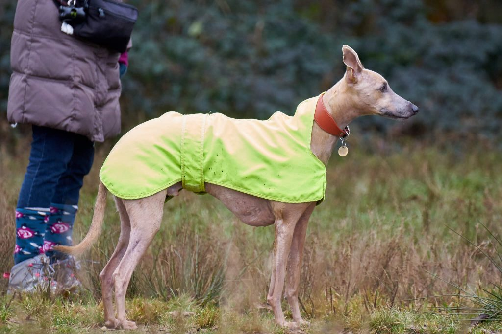 are whippets obedient dogs?