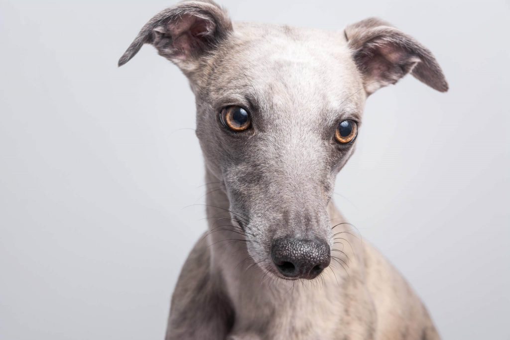how to remove ticks and fleas from your whippet