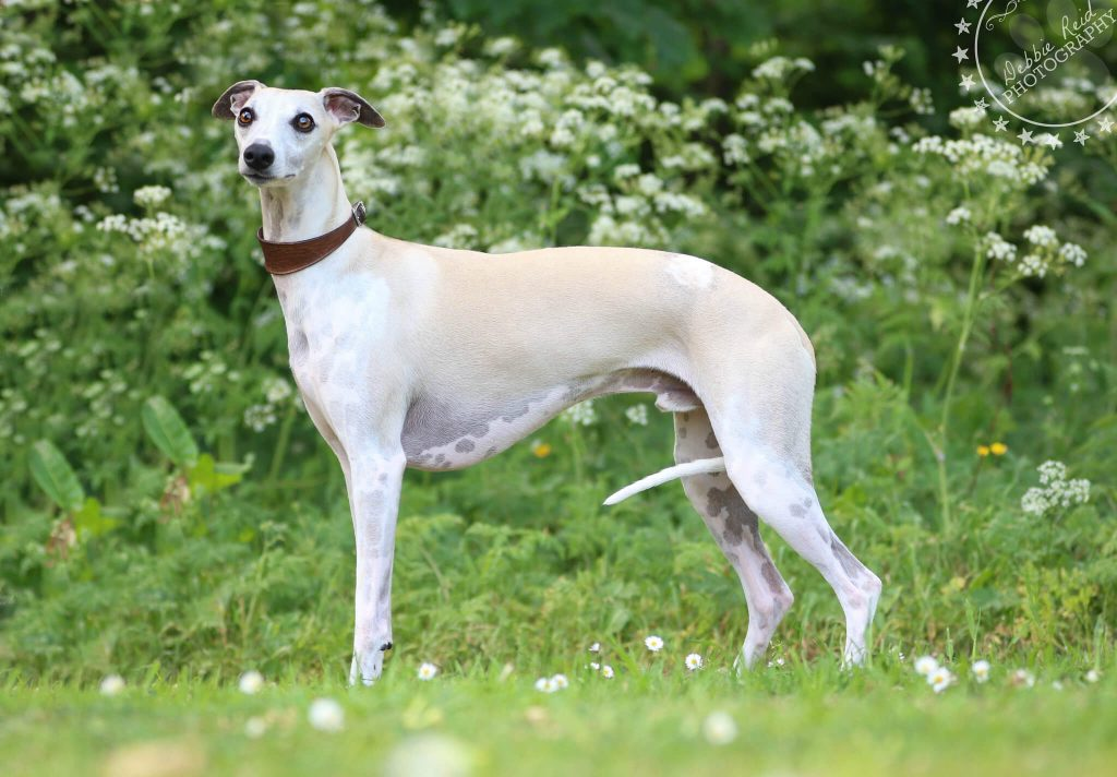 whippet health problems