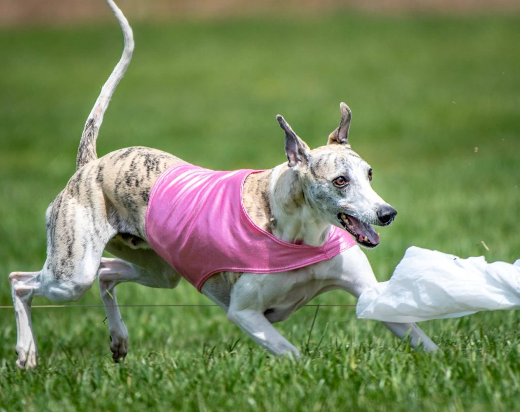 how to train a whippet to race