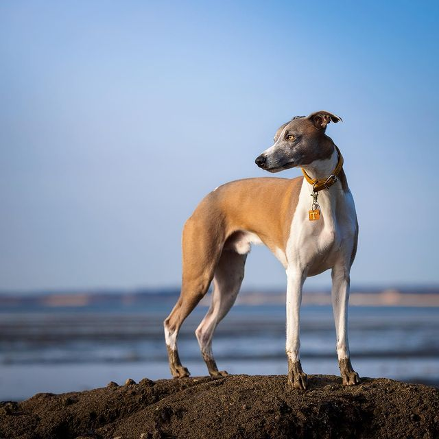 can a whippet live with a rabbit