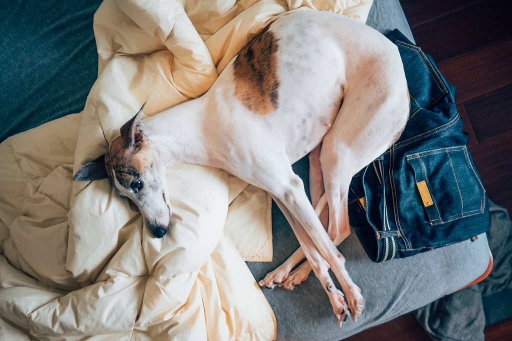 7 signs your whippet is pregnant