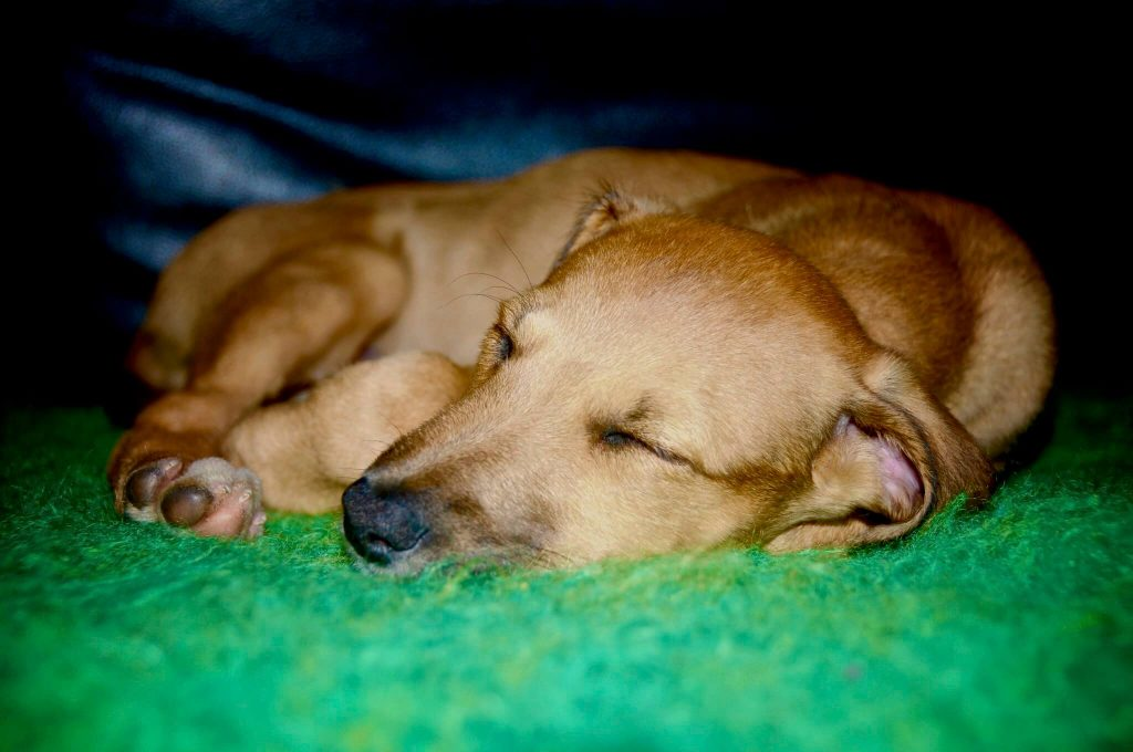 best dog foods for whippet puppies