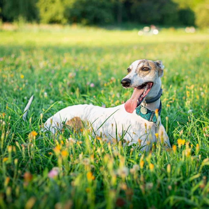 best travel essentials for whippets