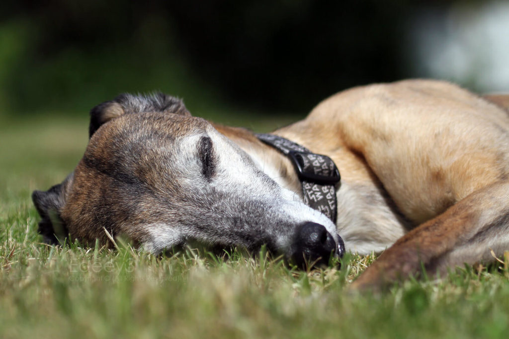how to comfort a dying whippet